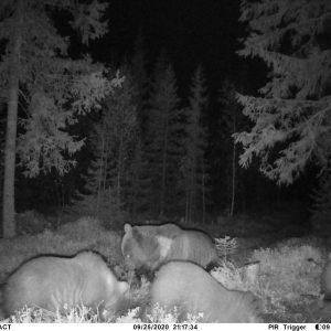 Bears by Night